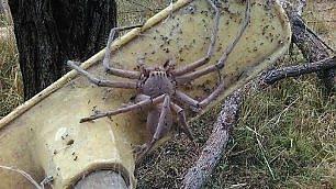 charlotte-il-ragno-gigante